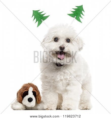 Bichon Frise with christmas decoration and a plush toy standing up and looking at the camera, isolated on white (14 years old)