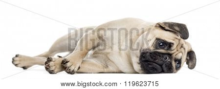 Bothered Pug lying down, isolated on white