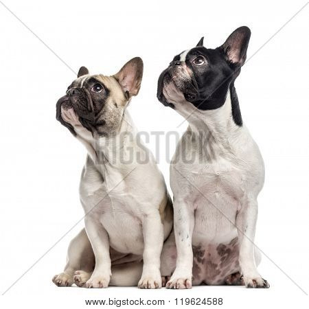 Couple of French Bulldogs (10 and 18 months old) sitting and looking up, isolated on white