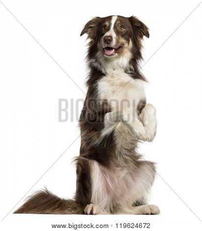 Border Collie on his hind legs sticking the tongue out, isolated on white (3 years old)