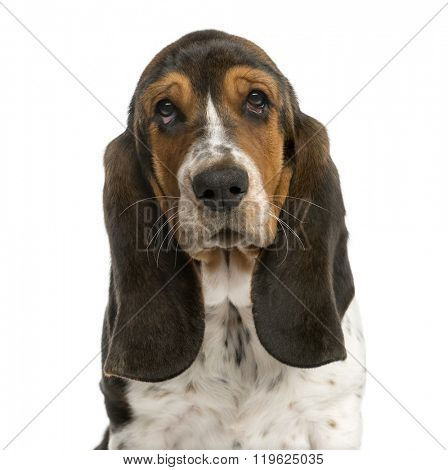 Close-up of a Basset Hound in front of a white background