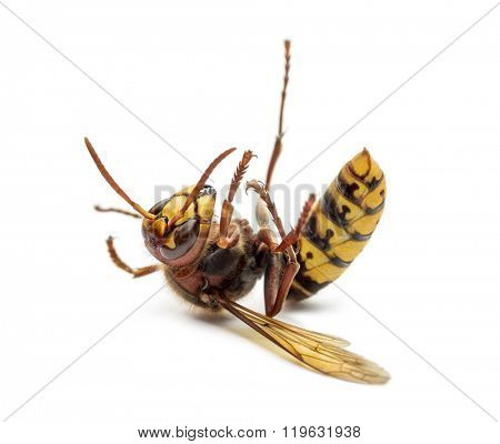 Dying Hornet on its back, isolated on white