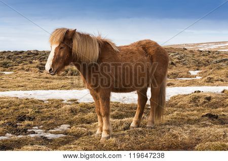 Icelandic pony over dry grass