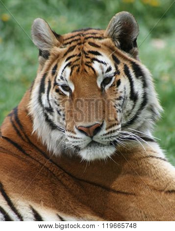 Regal relaxed tiger