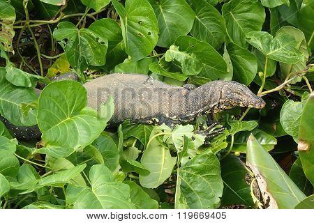 Asian Water Monitor In Foliage, Varanus Salvator In Greenery