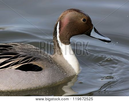 Male Northern Pintail Closeup
