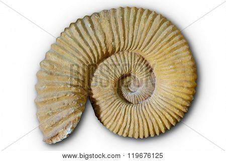 Ammonites fossil in Valencian Community of spain