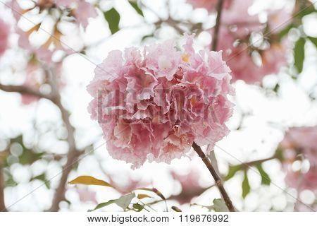 Pink Flowers Pantip