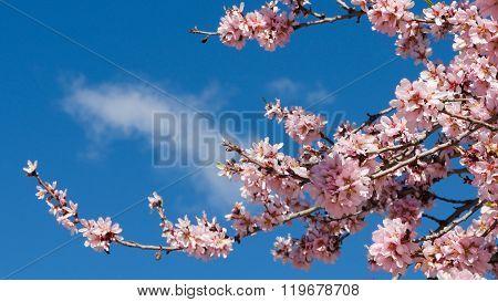 Nubes tras rama de bonito almendro en flor poster