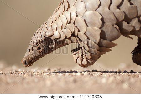 Pangolin looking for ants in the Kalahari