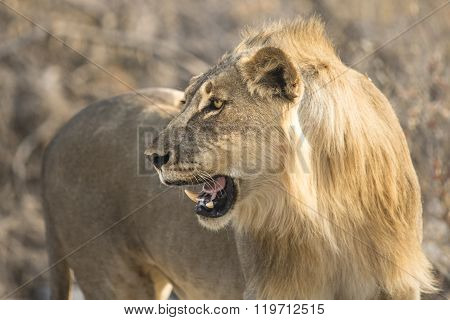 Young male lion walks through the bush veld