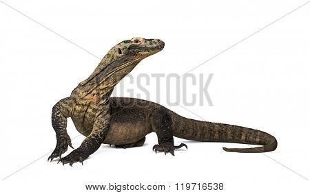 Komodo Dragon looking away with leg up, isolated on white (4 years old)