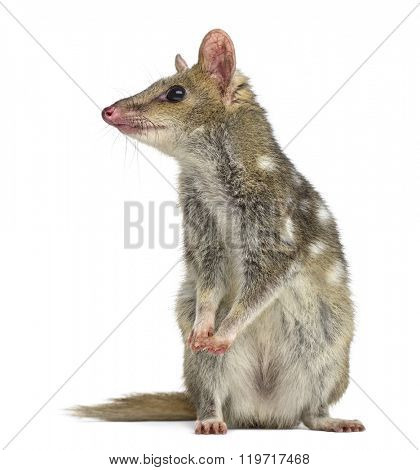 Quoll standing up and looking away, isolated on white (4 years old)