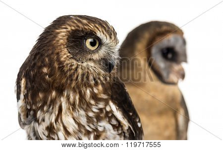 Close-up of a Southern boobook (Ninox boobook) and an Ashy-faced owl (Tyto glaucops) in front of a white background