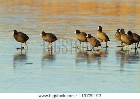 Flock Of Cute Coots On Icy Lake