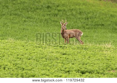 Roe Deer Buck Grazing