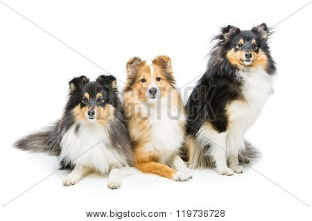 Three sheltie dogs