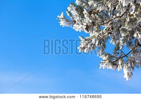 Branches of snowy conifer tree in front of the blue sky as copy space background