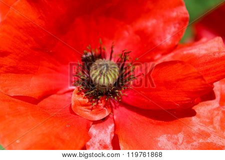 Beautiful Big Flower Of Red Poppy