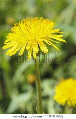 Flowering dandelion closeup on a background of green grass