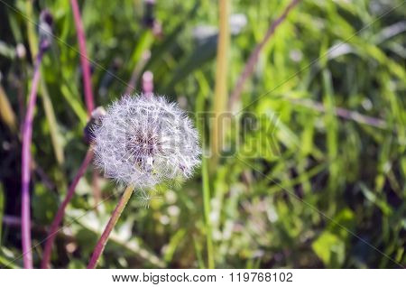 Dandelions on a grass background.