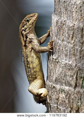 Northern Curly Tailed Lizard with Stump Dropped Tail