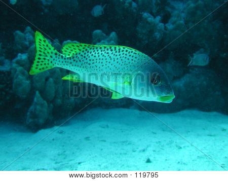Blackspotted Sweetlips