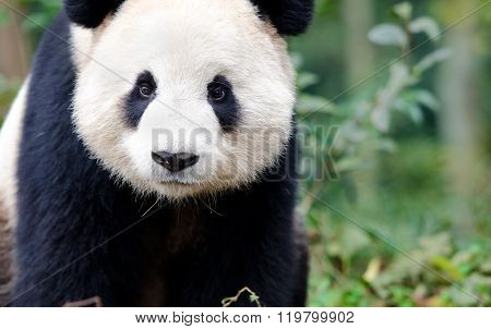 Giant Panda curious look, Chengdu, Szechuan, China