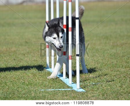 Siberian Husky At Dog Agility Trial