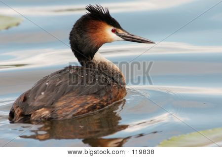 Great Crested Grebe In Blue Water