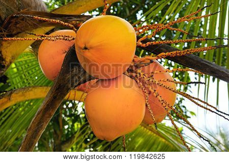 Royal Coconuts On A Background Of Palm Leaf