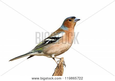 a Chaffinch sings on a branch