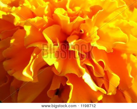 Burst Of Marigold