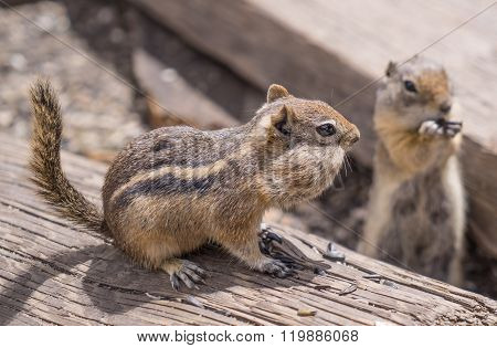 Chipmunks With Cheeks Full Of Nuts