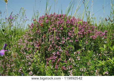 Purple Thyme Flowers On Ant Hill