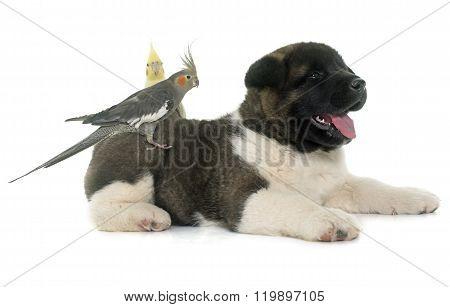 Puppy American Akita And Cockatiel