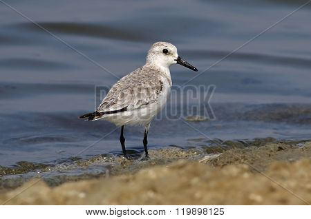Sanderling Calidris Alba Shorebird Waterbird Salt Farm Birds Of Thailand