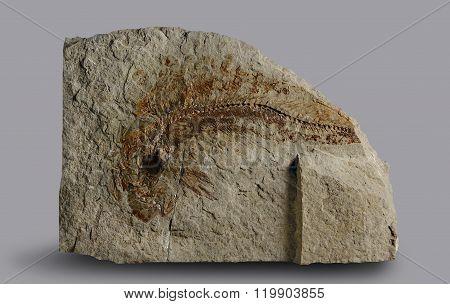 Print of ancient fish.