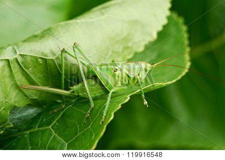 Bright green grasshopper sitting on a shiny green leaf