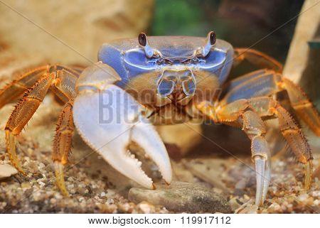 Rainbow crab Cardisoma armatum. Bright blue crab in natural environment aquarium.