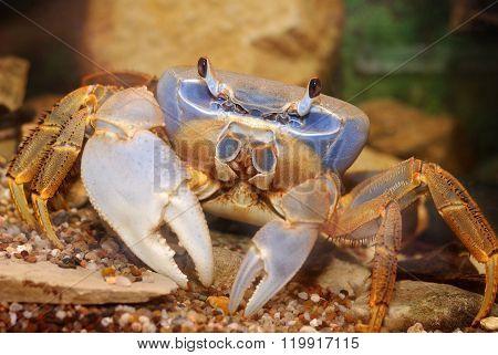 Rainbow crab Cardisoma armatum. Bright blue crab in natural environment.