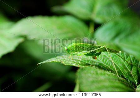 Bright green grasshopper sitting on a lush green leaf