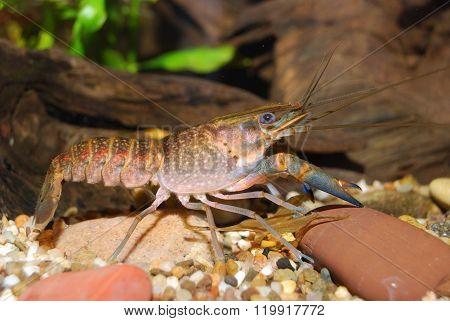 Young Blue Crayfish