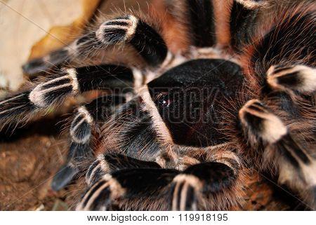 Black tarantula Acanthoscurria geniculata in natural environment
