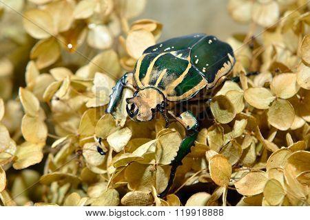 Large scarab beetle Mecynorrhina polyphemus in dry hortensia (hydrangea) flowers