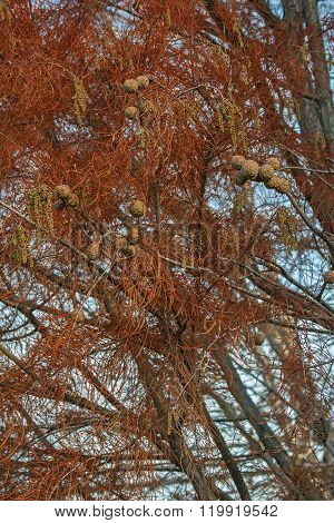 Pond Cypress (taxodium Distichum Var. Imbricarium)