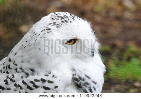 White polar owl closeup. Carnivorous bird with amber eyes.