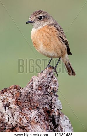 Nice bird on a innkeeper trunk with unfocused background