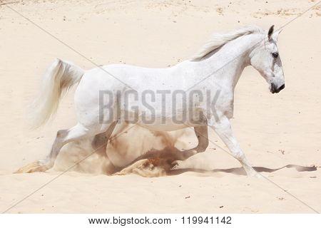 Lusitano horse in trot