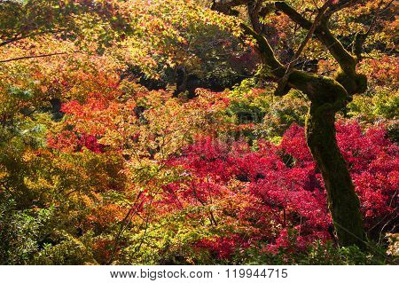 Momiji, Japanese Maple During Autumn